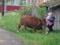 DSC_1710J_IMGP0525 Tant med ko på vägen, Voznesene